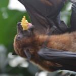 Fotos: Flughunde u.a. beim Fressen