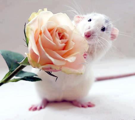 Rose Maus Mäuschen